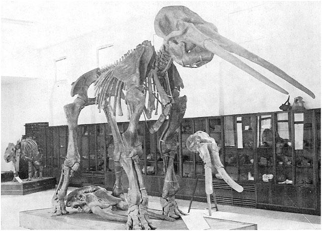 RIANO. Elephas (Palaeoloxodon) antiquus
