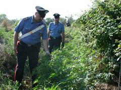 piantagione-carabinieri240.jpg