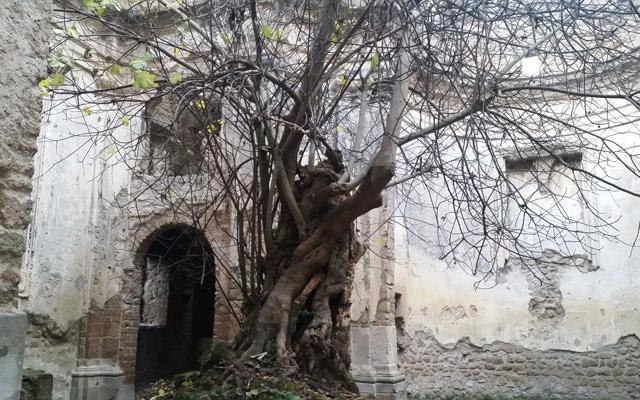 Monterano fico-nella-Chiesa-San-Bonaventura