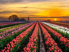 tulipark tulipani