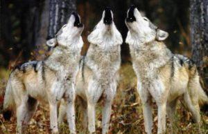 lupi parco di veio