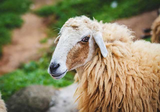 pecore nel xv