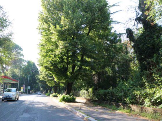 alberi cassia antica