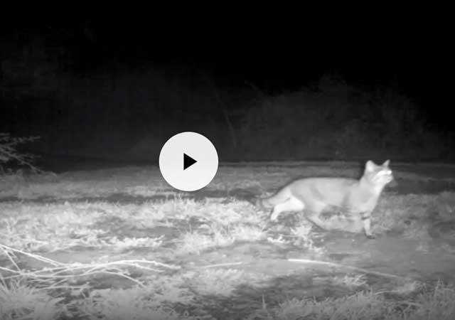 Parco Di Veio Avvistato Gatto Selvatico Una Specie Rara