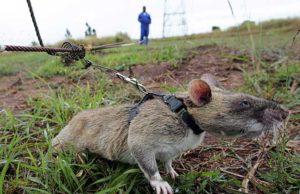 ratto-gigante-africano